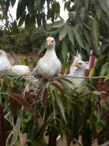 chickens in a sapote tree