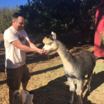 alpacas-and-guests