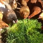 chicken fodder system