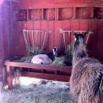 goat in barn