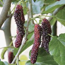 mulberry-image